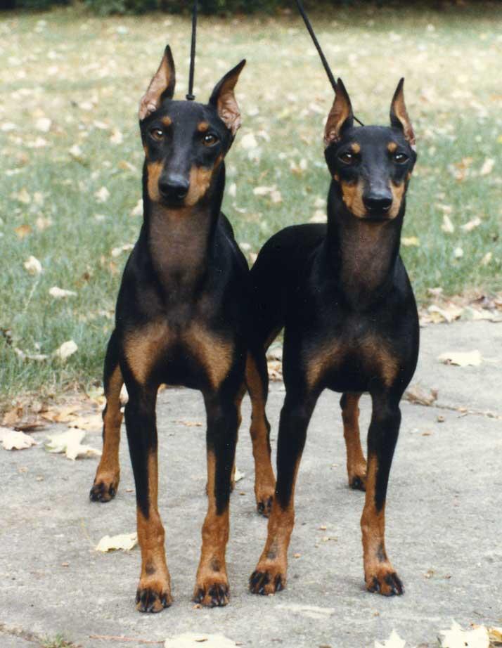 Saint Lazar Toy Manchester Terriers